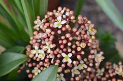 Spirande trädgårds- blomma Royaltyfri Fotografi
