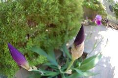 Spirande växt med purpurfärgade blommor Royaltyfria Bilder