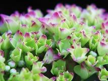spirande vanlig hortensia Royaltyfri Fotografi
