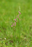 Spiranthes sinensis Royalty Free Stock Photography