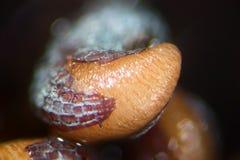 Spirat frö för opiumvallmo Blöta forspapaveren - somniferum vid mikroskopet Narkotiskt preparat, drogopiat och matväxt Arkivfoton