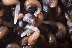Spirat frö för opiumvallmo Blöta forspapaveren - somniferum vid mikroskopet Narkotiskt preparat, drogopiat och matväxt Arkivfoto
