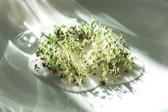 spirat frö groddar kärnar ur kryddkrassegrönsallat, gräsplaner, arkivbilder