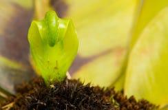 Spire asplenium nidus. In garden Stock Images