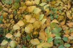 spirea明亮的秋季叶子在11月 免版税图库摄影