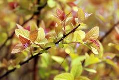 spirea завода листьев стоковое изображение rf