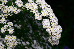spirea Photo stock