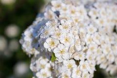 满地露水的开花的灌木新娘花圈spirea 库存图片
