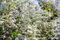 Spirea arbustos Imagem de Stock Royalty Free