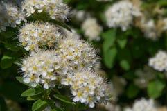 Spirea blommar närbilden som är vit fotografering för bildbyråer