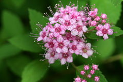 Spirea Bloom. A macro image of a spirea bloom, a low deciduous shrub Stock Images