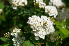 Spirea blooming Stock Photography