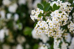 Spirea blooming Stock Images