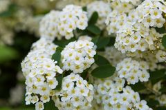 Spirea blooming Royalty Free Stock Image