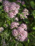 Spirea Blooms. Spirea flowers cover the shrub in spring with cherry pink blossoms Royalty Free Stock Photography
