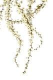 Spirea in blossom Stock Image