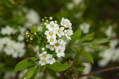 Spirea Royalty Free Stock Photography