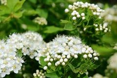 Spirea-Blumen Lizenzfreies Stockbild