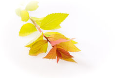 Spirea branch isolated Stock Photos