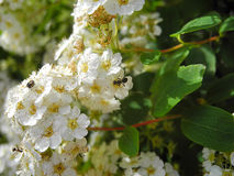 The spirea and the bugs Stock Images