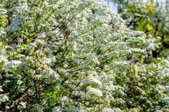 Spirea buissons Image libre de droits