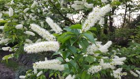 Spirea Bush blommor royaltyfri bild