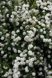 Spirea bush in spring. Thunderberg's Meadowsweet (Spiraea thunbergii) flowers Stock Photography