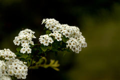 Spirea bush in summer royalty free stock photography
