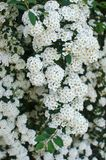 Spirea bush Stock Photography