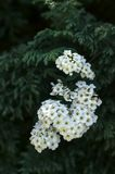 Spirea bush Stock Image