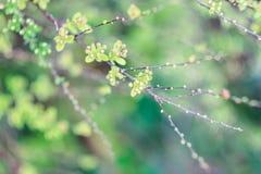 Spirea buske Fotografering för Bildbyråer