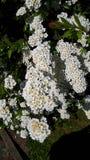 Spirea cespuglio in un giardino in Inghilterra del Nord immagini stock libere da diritti
