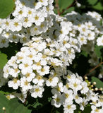 Spirea close-up. Close-up of Spirea bush flowers with an ant feeding in the middle ground Stock Photo