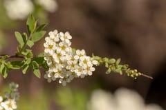 Spirea in de lente dichte omhooggaand Royalty-vrije Stock Afbeelding