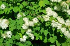 Spirea di fioritura della betulla, arbusto ornamentale fotografia stock