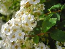Spirea en de insecten Stock Afbeeldingen