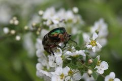 Spirea flowers. bronze beetle on flowers. Spring sunny day royalty free stock photography