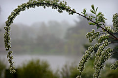Spirea Foggy Day Royalty Free Stock Photography