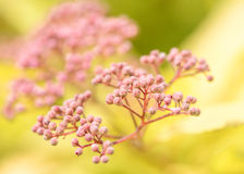 Spirea Goldflame Buds Stock Image