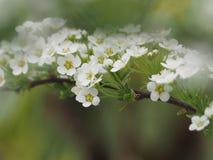 Spirea grau, schöne Niederlassung mit weißen Blumen lizenzfreie stockbilder