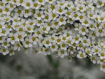 Spirea grey with white flowers. royalty free stock photography