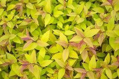 Spirea japonica `Golden Princess`, closeup on. Spirea japanese golden flame with yellow leaves and red shoots close up royalty free stock images