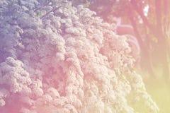 Spirea Krzak, kwitnący spirea krzak w ogródzie Zdjęcia Stock