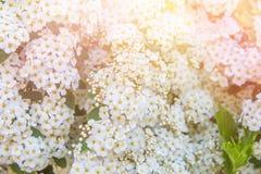 Spirea kwiatostanu Białych kwiatów Mała Delikatna zieleń Opuszcza Kwiecistego Botanicznego Deseniowego tło Natury obudzenia wielk Obraz Stock