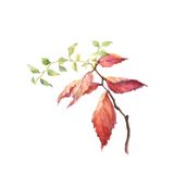 Spirea leaves watercolor painting. Stock Photo