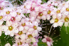 Spirea Magic Carpet flowers Royalty Free Stock Images
