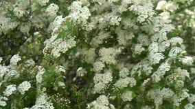 Spirea nupcial cubierto de rocio de la guirnalda del arbusto floreciente, fondo floral almacen de metraje de vídeo