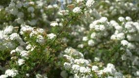 Spirea nupcial cubierto de rocio de la guirnalda del arbusto floreciente, fondo floral almacen de video