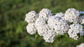 Spirea nupcial de florescência orvalhado da grinalda do arbusto Imagens de Stock