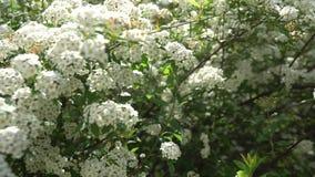 Spirea nuptiale couvert de ros?e de guirlande d'arbuste fleurissant, fond floral banque de vidéos